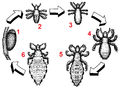 Pediculus humanus development numberedblackwhite.png