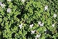 Pelargonium crispum 6zz.jpg