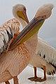 Pelican Pair (37505299860).jpg