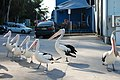 Pelicans Waiting for Food at Nelson Bay - panoramio.jpg