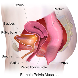 Pelvic floor anatomical structure