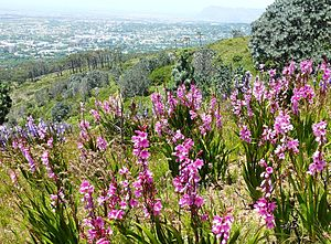 Devil's Peak (Cape Town) - Peninsula Shale Fynbos growing on the northern slopes of Devils Peak