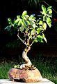 Penjing Ficus benjamina 1072.jpg