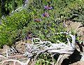 Penstemon serrulatus - Flickr - brewbooks (1).jpg