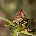Pentatomidae-Punaise à bouclier VF-20160420.jpg