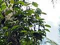 Pepper negrum on tree support.jpg