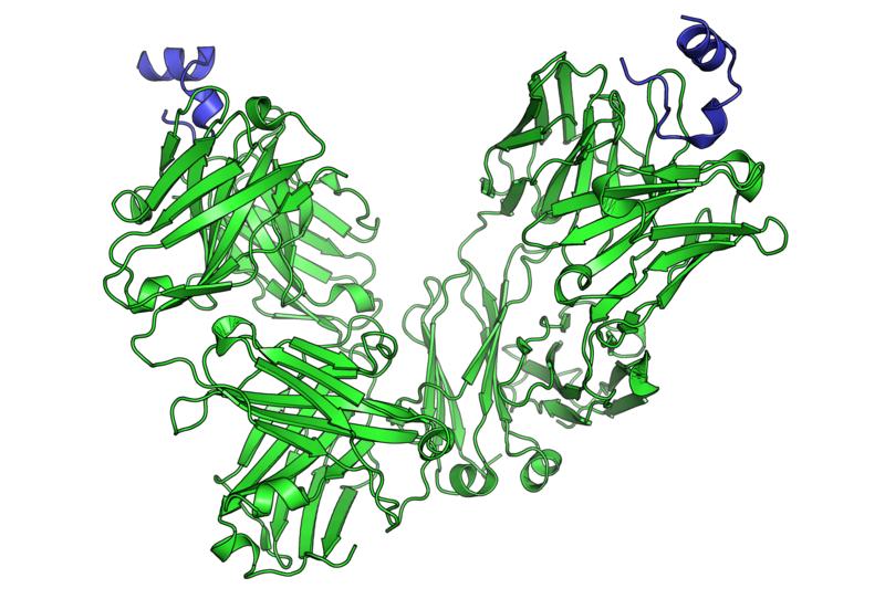 קובץ:Peptide bound to Rituximab FAB.png