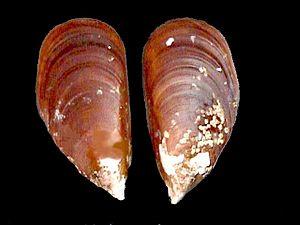 Perna perna - Image: Perna perna 002