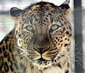 Persian Leopard Shapur.jpg