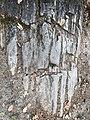 Petrified Redwood - Sequoia langsdorfii, Metasequoia - 14.jpg