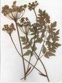 Peucedanum cervaria Herbar.jpg