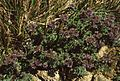 Phacelia californica 1.jpg