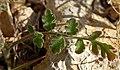 Phacelia cryptantha 4.jpg