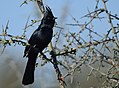 Phainopepla (male) (33230573693).jpg