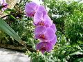 Phalaenopsis im Gewächshaus auf Mainau (5).JPG