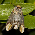 Phalera.bucephala.7189.jpg