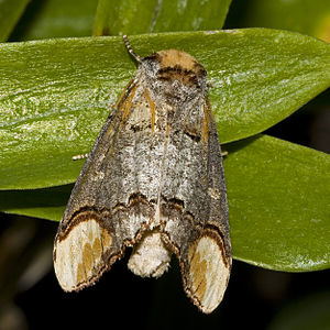 Buff-tip - Buff-tip moth