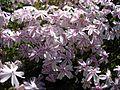 Phlox subulata 'Candy stripe' 4.JPG