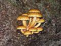 Pholiota aurivella20120915 15.jpg