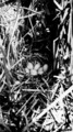Photograph of Redhead Duck Nest - NARA - 2127877.tif
