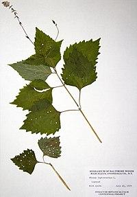 Phryma leptostachya BW-1979-0722-0469.jpg