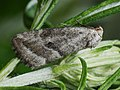 Phyllophila obliterata (27185733178).jpg