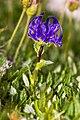 Phyteuma sieberi 14.jpg