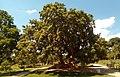 Phytolacca dioica Cervantes.jpg