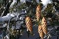 Picea abies (409899321).jpg