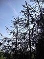 Picea abies f virgata Käärmekuusi Ormgran C DSC02588.JPG