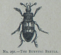 Picture Natural History - No 291 - The Burying Beetle.png