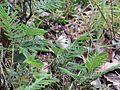 Pieris canidia canis Evans, 1912 – Sahyadri Cabbage White at Mannavan Shola, Anamudi Shola National Park, Kerala (2).jpg