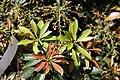 Pieris japonica Forest Flame 4zz.jpg