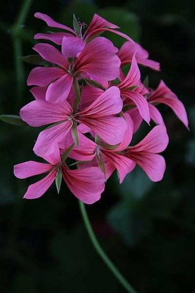 פרח ורוד