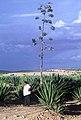 PikiWiki Israel 75736 agave bush.jpg