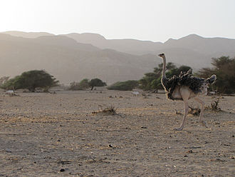 North African ostrich - Female