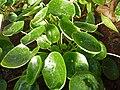 Pilea peperomioides 2011-01-17.jpg