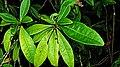 Pilocarpus riedelianus Engl. (2879405687).jpg