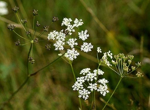 Pimpinella saxifraga L. (8070509708)
