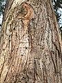 Pinales - Cryptomeria japonica - 3.jpg