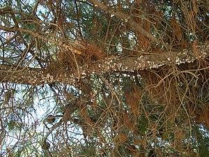 Manna - Pine branch with Marchalina hellenica honeydew