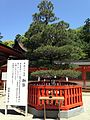 Pine tree planted by Prince Hirohito in front of Honden of Kashii Shrine.jpg