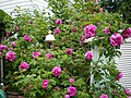 Pink Rose Bush (2802925702).jpg