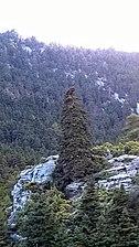 Pinsapo Sierra de las Nieves - Yunquera (Málaga).jpg