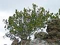 Pinus aristata Humphreys.jpg
