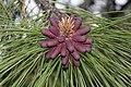 Pinus ponderosa 4755.JPG