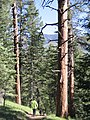 Pinus ponderosa brachyptera forest2.jpg