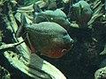 Piranha (540214101).jpg