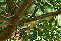 Pistacia lentiscus in Jardin des Plantes de Toulouse 03.jpg