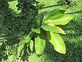 Pistacia vera (Pistachio) leaves in RDA, Bogra.jpg